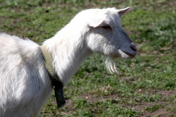 White goat chewing grass №1276