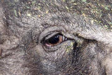 Eye of the pig №1957