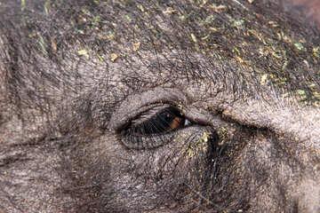 Eye of pig. Large №1958