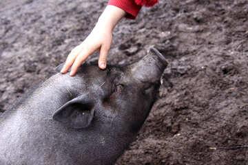 Pig - pets №1257