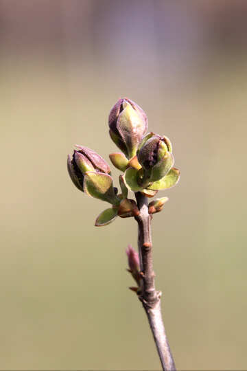 Blossoming flower buds of lilac №1768