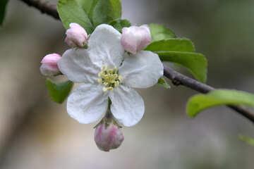 Fiore mela Macro №1820