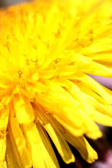 A yellow dandelion. Macro №1733