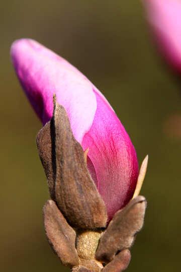 Magnolia bud №1758