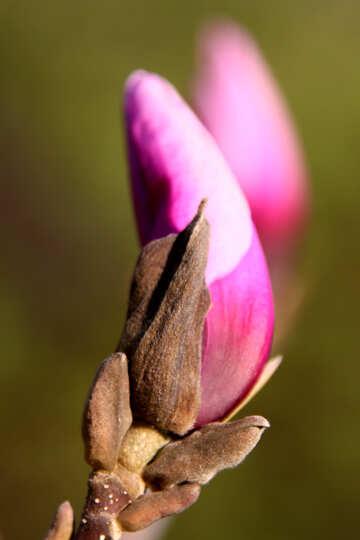 Pink magnolia bud №1757