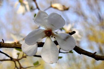 Magnolia white №1763