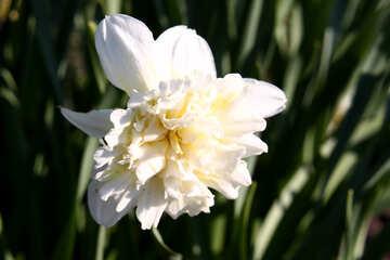 Narcissus №1748