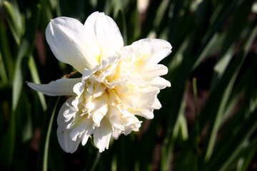 White terry narcissus №1747