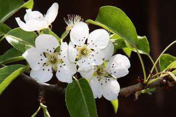 Flowers pears №1829