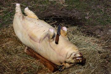 Body  pig №1857