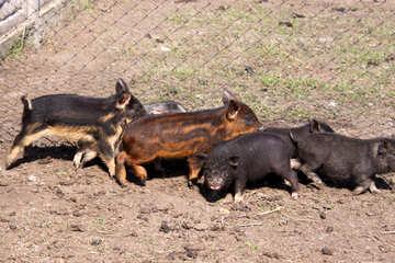 Wild pigs №1263