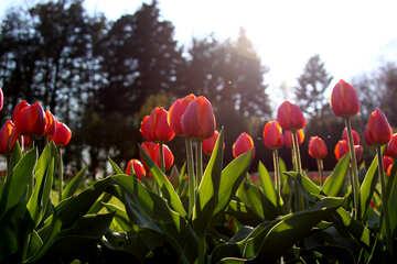 Red tulips in kontrazhure №1653