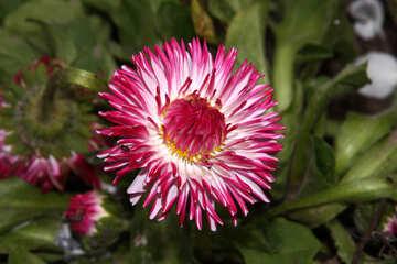Colore rosa della margherita №1835