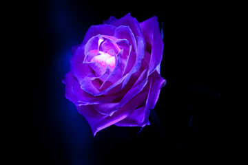 Rosa blu №1235