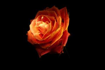 Fire Rose wallpaper for desktop