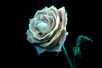 Rosa verde №1237