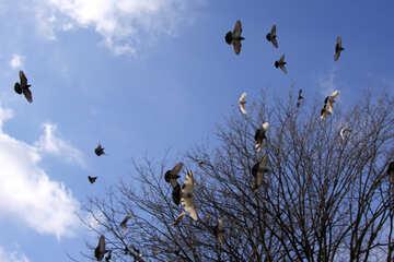 Flying Pigeons №1437