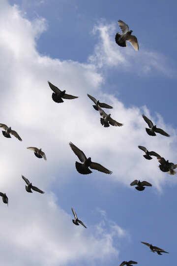 Pigeons №1436