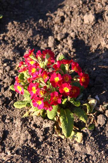 Spring flowers. Primrose №1718