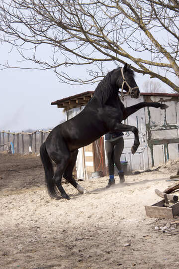 Stallion climbs candle under tree №1124