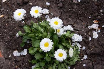 White daisies №1832