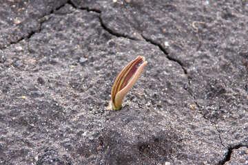 Tulip sprouts №1430