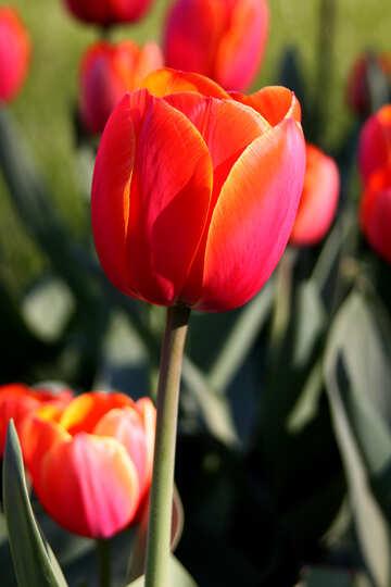 Red tulip №1649