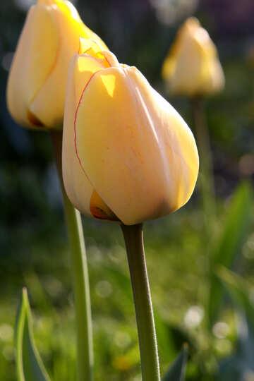 Tulpe in der Sonne №1644
