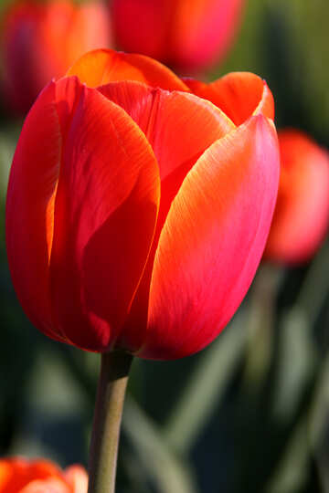 Tulip red. Large №1650