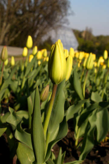 Yellow tulip bud №1639