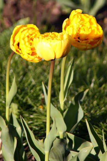 Yellow peonies tulips №1655