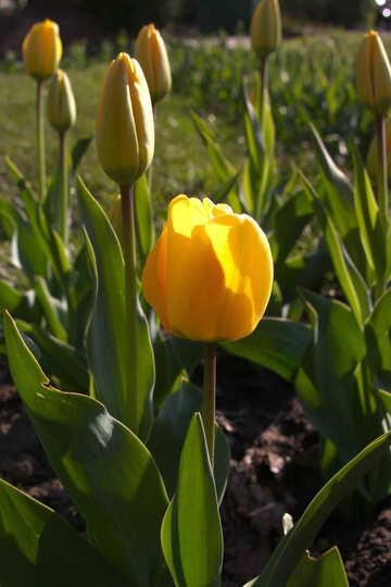 A yellow tulip sunlit №1641