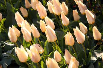 Beige tulips №1663
