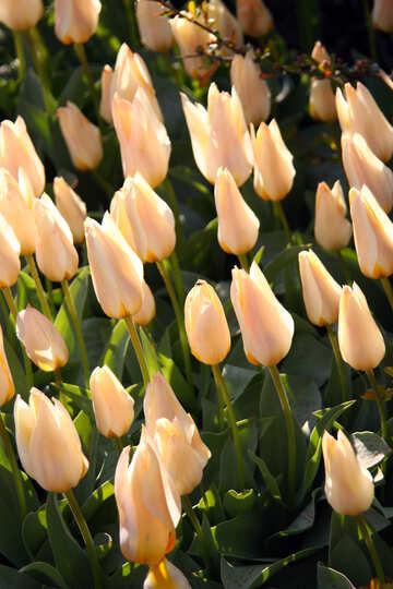 Glade beige tulips №1664
