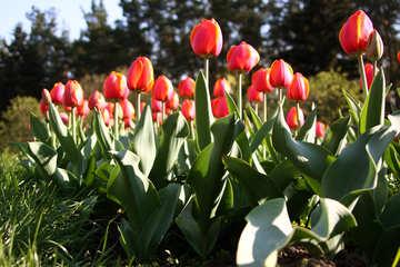 Tulips №1652