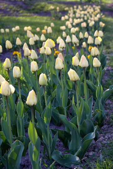 Ein Blumenbeet von Tulpen in den Schatten №1645