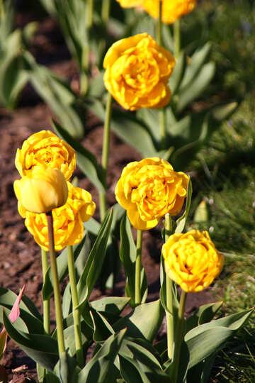 Peonies tulips №1656