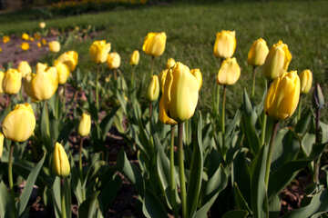 Flower bed with yellow tulips №1640