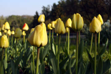 A lot of yellow tulips №1643