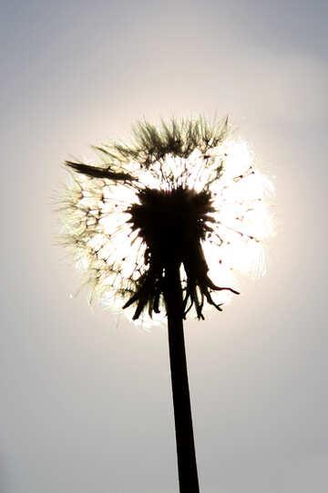 White dandelion in the sun №1591