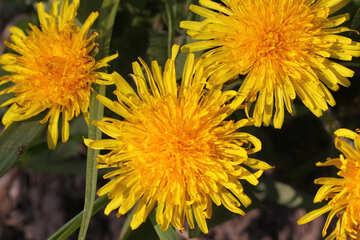 Yellow dandelions №1734