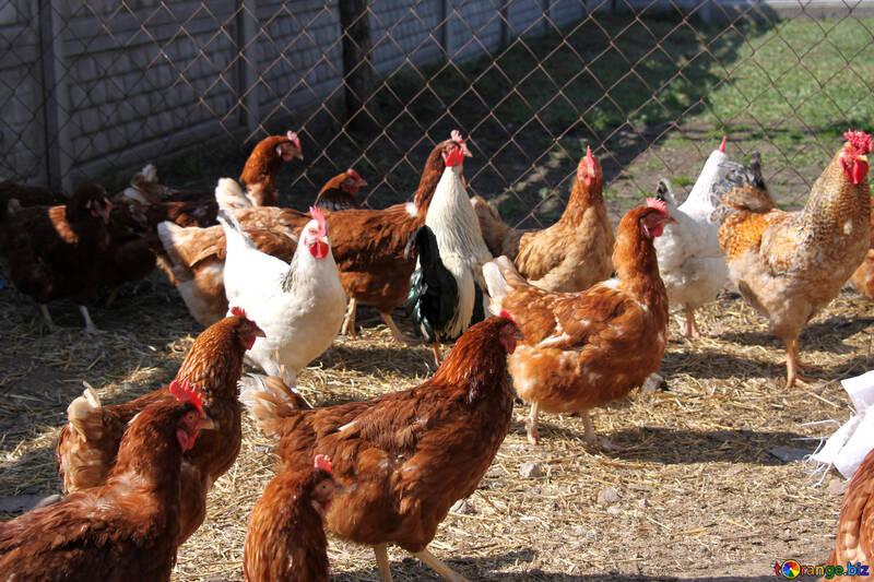 Risultati immagini per hen