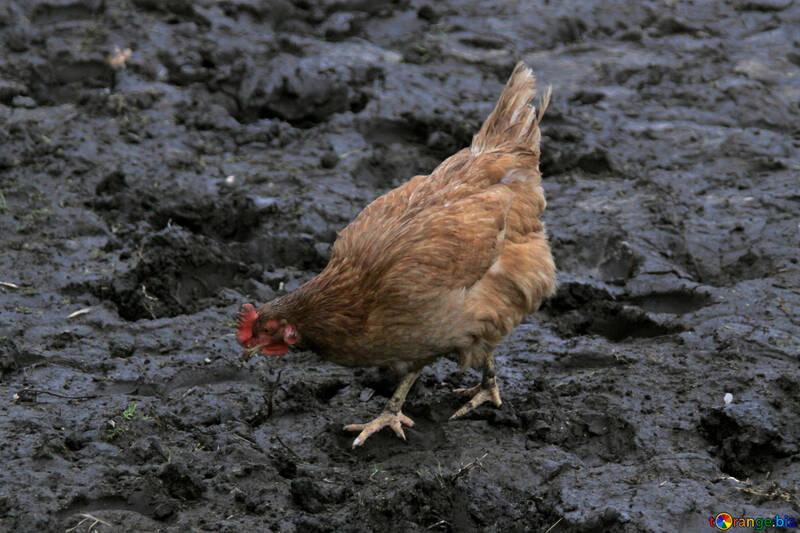 Red hen №1178