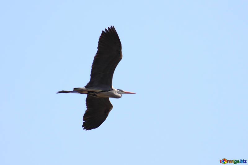 Gray Heron flies №1195