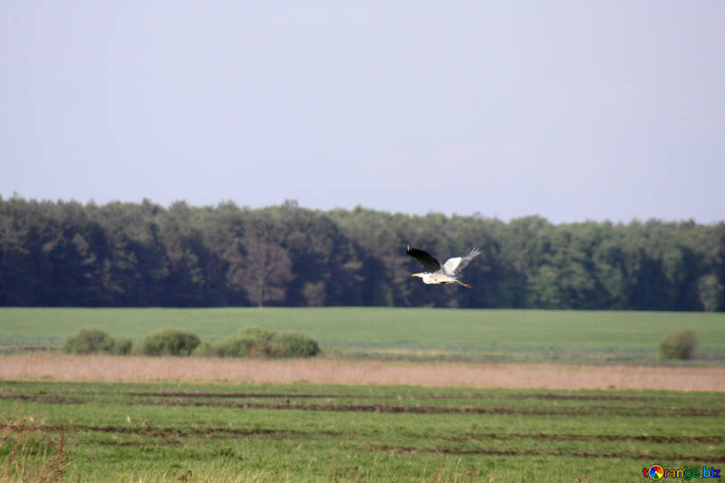 The gray heron flies over the green meadow №1667