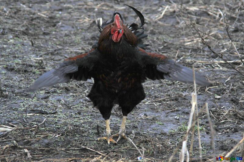 Black Cock runs wings spread №1180