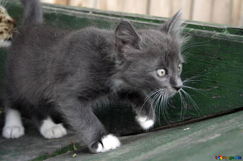 Gray Kitten №1050