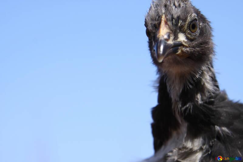 Chicken Black №1210