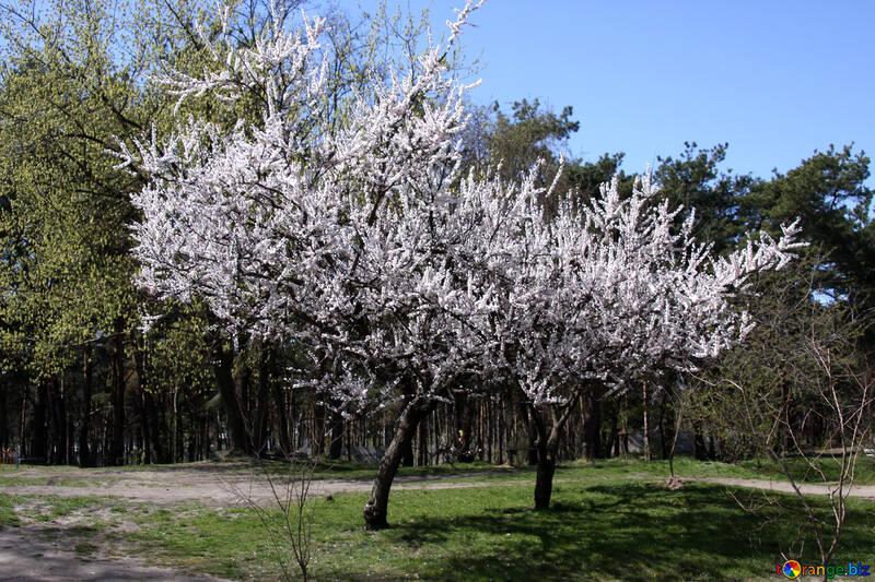 Blütezeit Apricot №1593