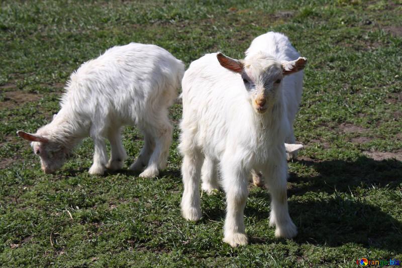Goats grazed №1286